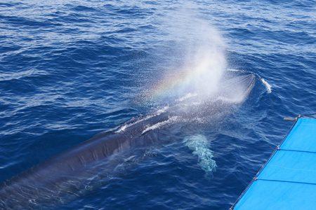 ニタリクジラの親子、イルカ、トビウオといった海の仲間たちのオールキャストに出会えるよう、全力を尽くし頑張っております